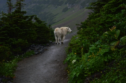 Mountain Goat on the Highline Trail at Glacier