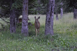 Mule Deer at our campsite