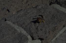 A chipmunk at Crater Lake