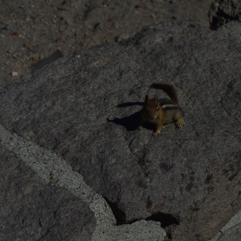 A chipmunk at Crater Lake