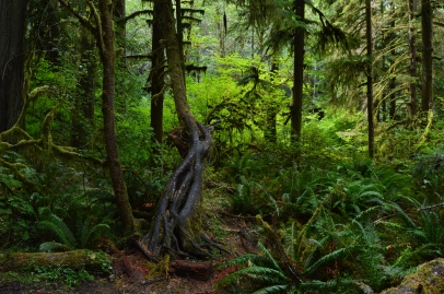 Amazing how trees grow! Nature always finds a way on the Marymere Falls Trail in Olympic National Park