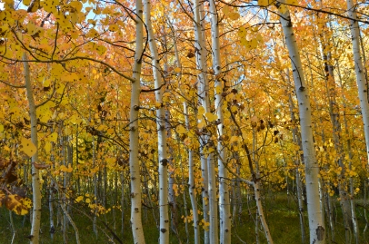 Aspen Trees in Sawtooth National Forest