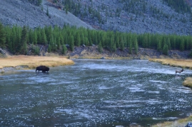 A bison chasing the elk across the river