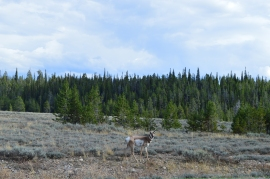 A pronghorn we ran into on the bike trail in Grand Teton National Park