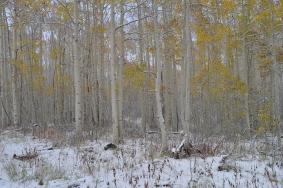 Aspen's in the snow near Park City, Utah