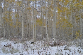 Aspen's in the snow near Park City, Utah