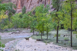 Deer near the river in Zion NP