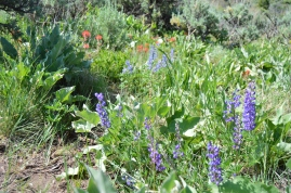 Wildflowers! North Vista Trail, Black Canyon of the Gunnison National Park, Colorado