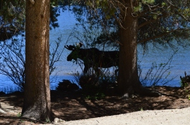 A thirsty moose wading into the water for a drink at Monarch Lake, Arapaho National Rec Area