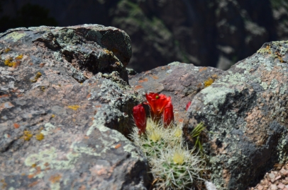 It amazes me where flowers grow! The edge of Black Canyon of the Gunnison, Colorado