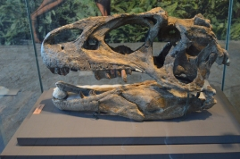 The skull of an Allosaurus, a meat-eating dinosaur, on display at the Quarry Exhibit Hall in Dinosaur National Monument, Jensen, Utah
